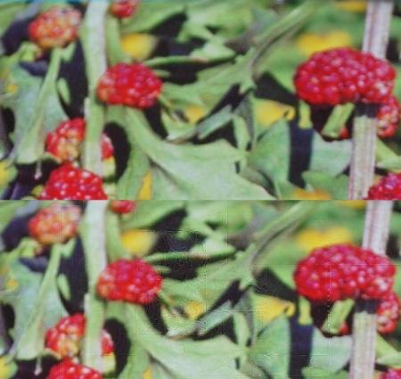 Erdbeerspinat 1