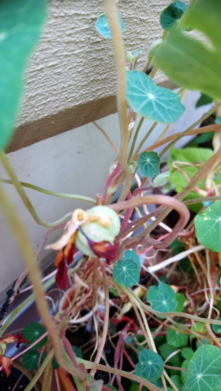 Aus der Blüte wird Samen Kapuzinerkresse