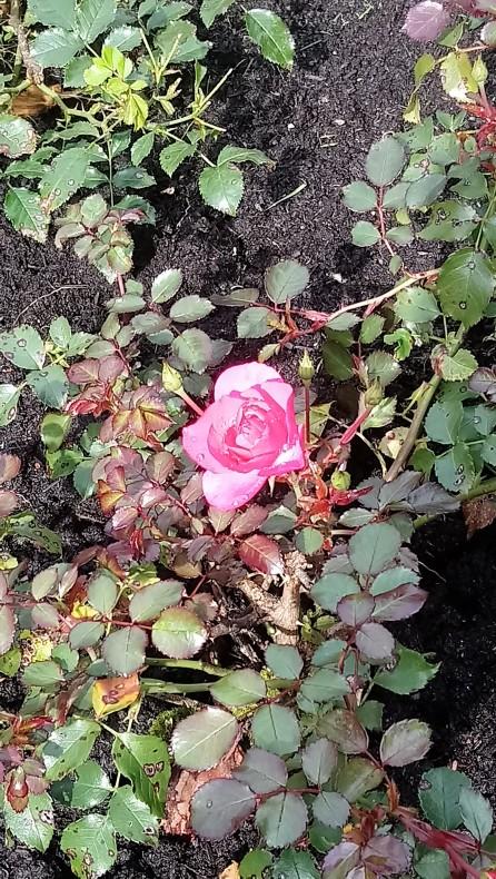 Magische Rose