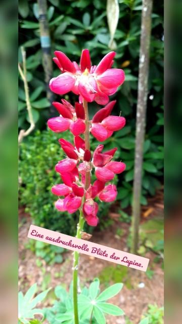 Eine ausdrucksvolle Blüte der Lupine.